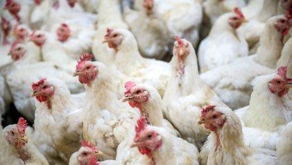 Identifican variante altamente contagiosa de gripe aviar en granjas de Bélgica